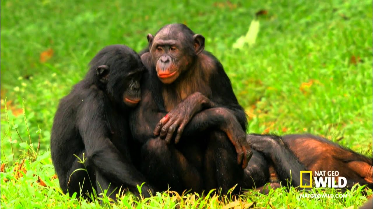 Bonobos Monkey Love Bonobo Love