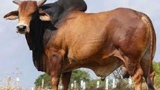 এবার কুরবানি ঈদের সবচেয়ে বড়  গরু | দাম 16 লক্ষ টাকা | ওজন 1000 কেজিরও  বেশি |বিস্তারিত জানুন ভিডিও..