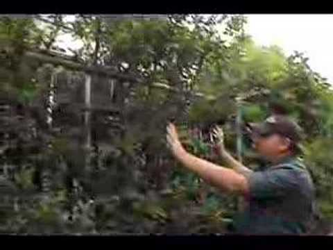 How to prune a fruit tree ed laivo and tom spellman of dave wilson
