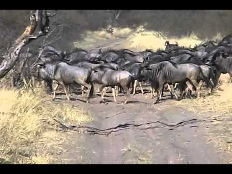 A herd of wildebeest in Makgadigadi Pan National Park, Botswana