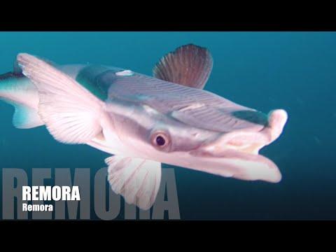 Remoras Sharks Divers Fiji Beqa Lagoon Africa Aliwal Shoal Protea Banks