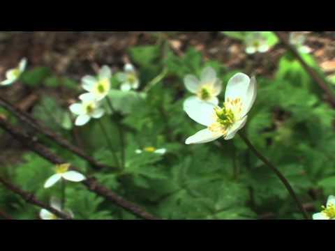 揖斐川町 渓流・夏の花々02 「二輪草(ニリンソウ)」