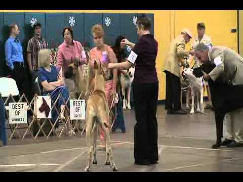 Great Dane Specialty Dog Show