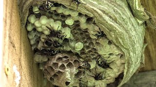 Yellow Jacket ASMR SWARM Nest Attacking Camera Bald Faced Hornets Nest