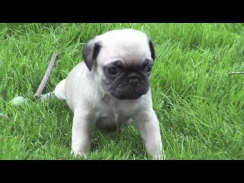 Newborn Pugs **MUST SEE!!**