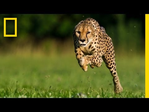 National Geographic Live! - Greg Wilson: Cheetahs on the Run