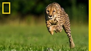 Greg Wilson: Cheetahs on the Run | Nat Geo Live