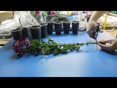 Выращивание хризантем из черенков из букета 52