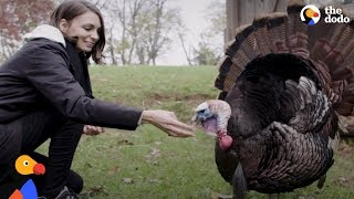 Rescued Turkey  Know Exactly How To Spend Thanksgiving | The Dodo