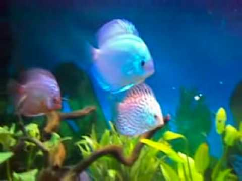 Discus Fish Home