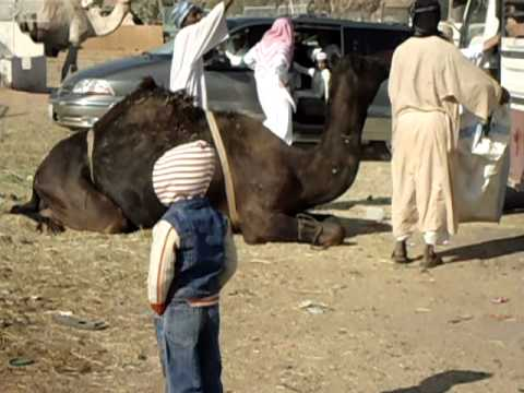 CAMEL QURBANI 1 (3).AVI