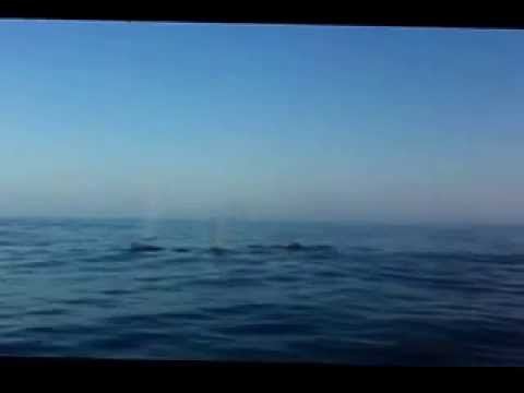Humpback Whale in Plettenberg Bay Video 2