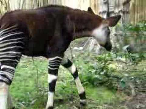 Okapi: Disney's Animal Kingdom (part 3)