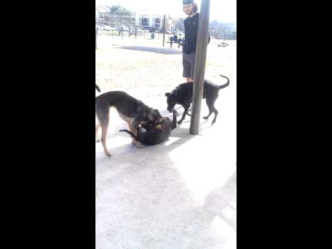 Gay Dog Rape Take Down video