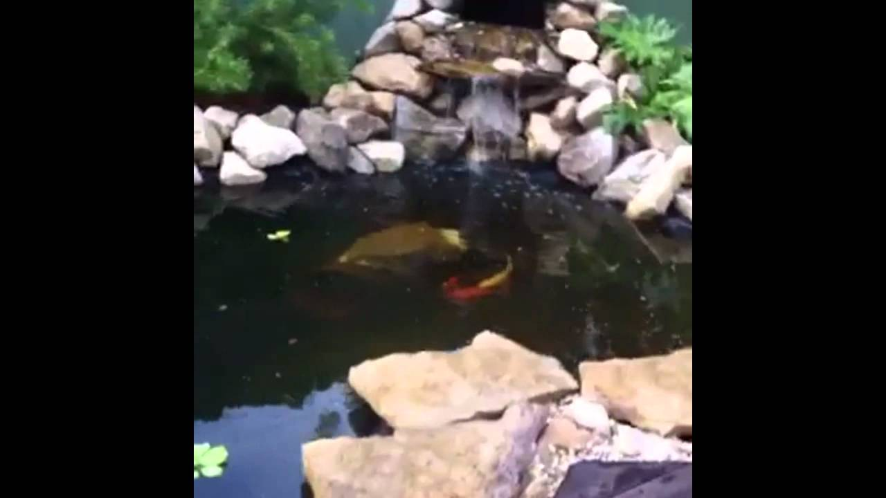 How to build a small backyard koi pond youtube for Koi pond removal
