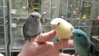 Lineolated Parakeets Talking