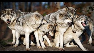Download Lagu National Geographic Inside A Wolf Pack  -  Best DocumentarY              2017 Gratis STAFABAND
