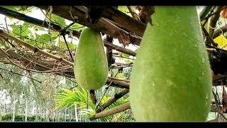 যারা চাল কুমড়া চাষ করতে চান ভিডিওটি তাদের জন্য । How to cultivate pumpkin । Winter Melon Cultivation