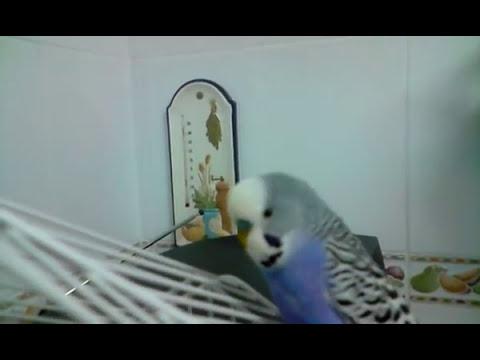 mi periquito hablando:)pq no te callas!!