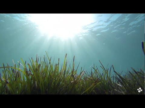 Seagrass genome unlocks the secrets of saltwater adaptation