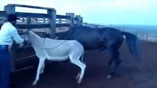 cavalo cobrindo Jumenta
