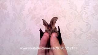 Летучая мышь УШАН:) Grootoorvleermuis (Plecotus Auritus) - Brown Long-Eared Bat