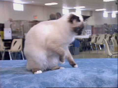The Birman Cat Video