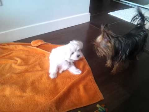 Get out of my house! Yorkshire Terrier Vs. Maltese