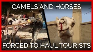 Camels and Horses Forced to Haul Tourists in Egypt With No Relief