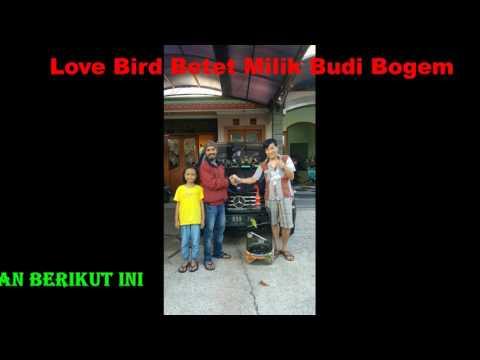 Love Bird Betet Lagi Ngigau Sesaat di Malam Menjelang Lomba