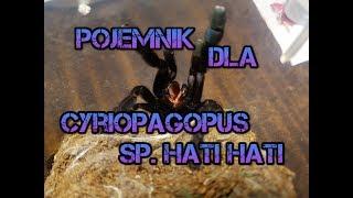 Urządzanie pojemnika Cyriopagopus sp. hati hati