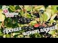 Арония черноплодная - особенности выращивания #urozhainye_gryadki