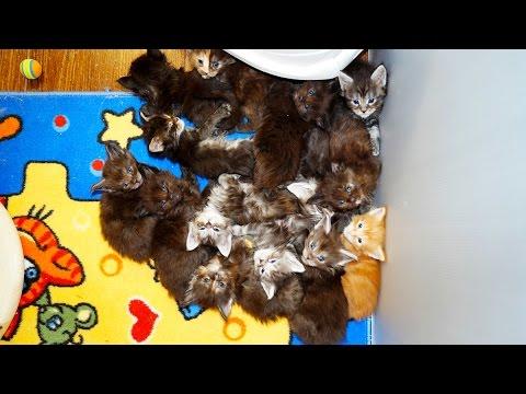 Котята мейн кун онлайн. Maine Coon cattery Lovitven online - Saint Petersburg, Russia.