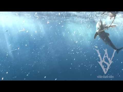 Mako Shark VS. Great White Shark: WSV