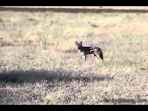 A jackal, seen from our jeep in the Central Kalahari Nature Reserve(Botswana)