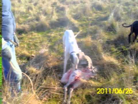 Caza de ñandu y ciervo con galgos