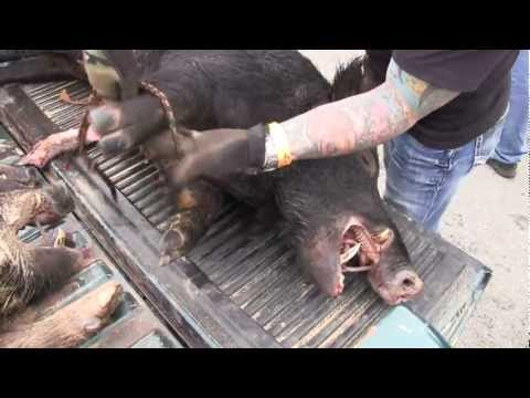 Texas Hog Hunting, 100 dead hogs and Great Texas Music