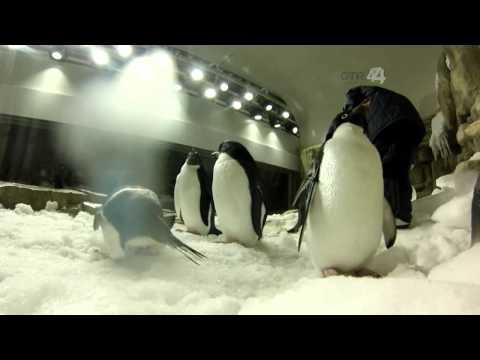 Desde el Zoológico: Pinguinos