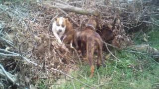 Dogs hunting - Presa Canarios, American Bulldog, Pitbull/Blue Tickhound mix