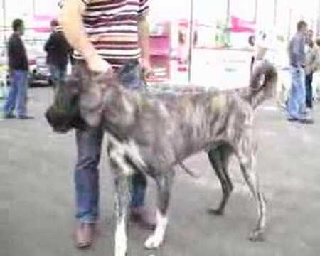 Karayaka Çoban Köpeği