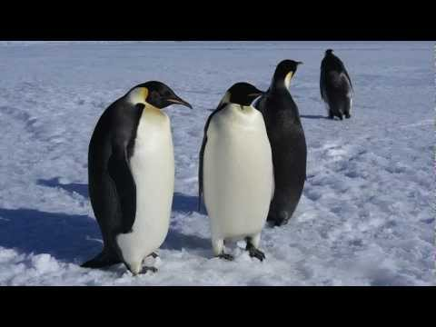 Adelie and Emperor Penguins