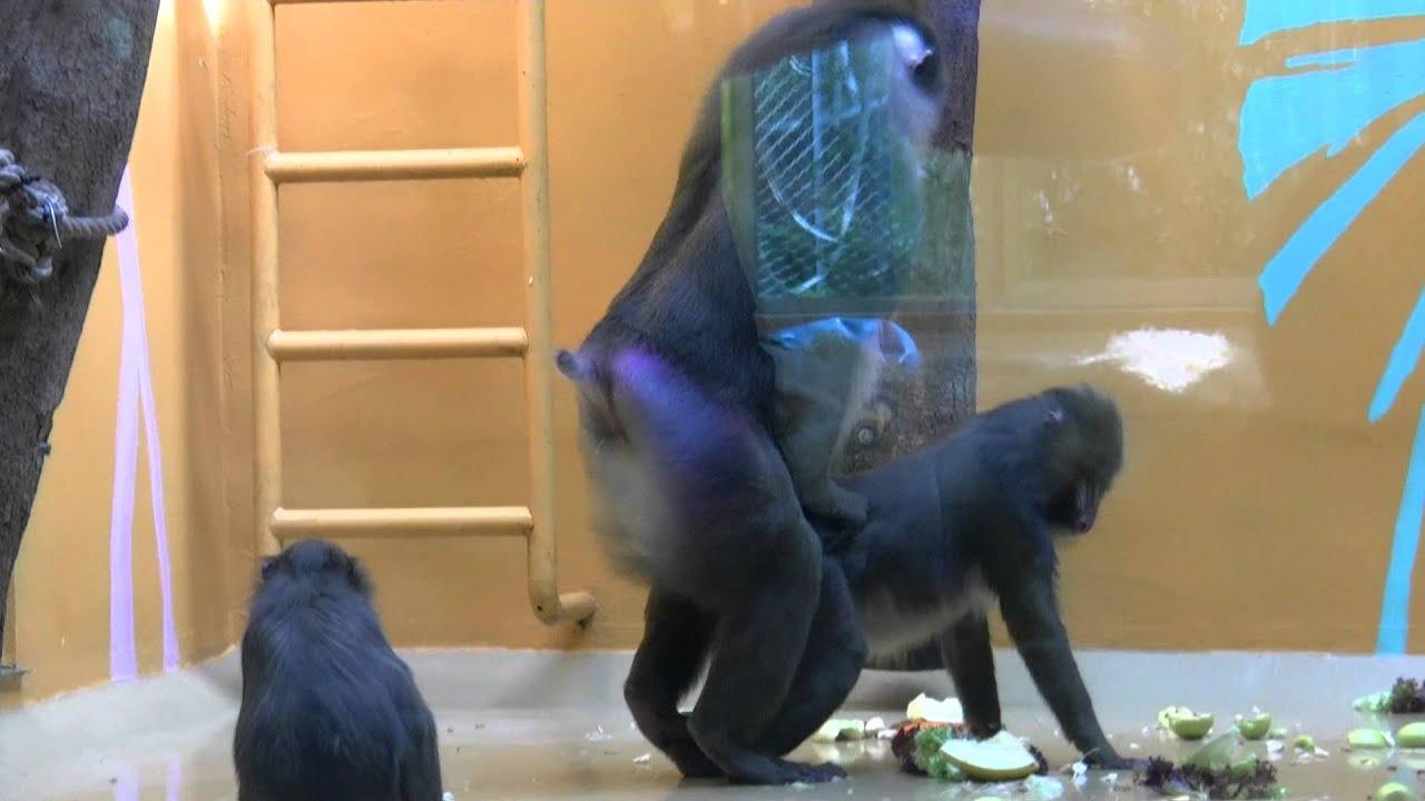 Monkey rapes Monkey - YouTube
