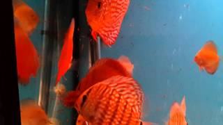 Discus eating frozen bloodworms