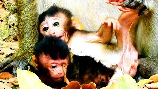 So happy when see baby Ginger play with baby Patty but Grace seem scare Bigbertha.World Monkey.