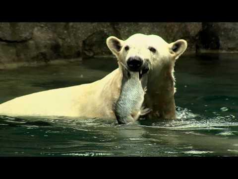 фото белого медведя ловящего рыбу