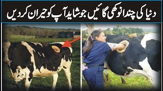 Most Unbelievable Cows In The World