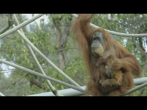 Cute and funny baby of chimpanzee - funny videos