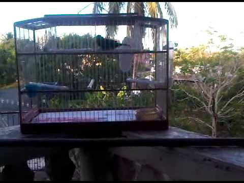 Trinidad Bullfinch Barrackpore (muddy)2 video
