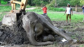 A feel Good story: A Weak Elephant gets treated and helped to stand up