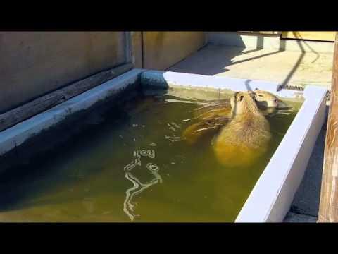 カピバラ家族の水遊び